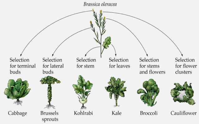 a diagram showing the evolutionary background of cabbage, brussel sprouts, kohlrabi, kale, brocolli and cauliflower which all derive from Brassica oleracea