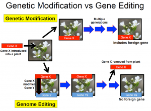 A figure depicting the difference between genetic modification and genome editing as described in the text