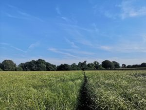 A large field under a blue almost cloudless sky